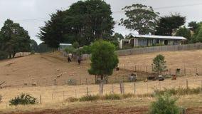 Australian bush farm with cows and sheep UK. Australian countryside farm with arid land building HD stock video footage