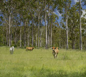 Australian Countryside Royalty Free Stock Images