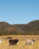 Australian Cows and sky portrait view Stock Image