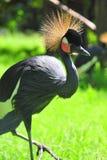 Australian crane Stock Photo