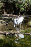 Australian Crane. PERTH,WA,AUSTRALIA-MARCH 20,2016:Australian Crane, or Brolga, in outdoor bird enclosure at the Perth Zoo tourist attraction in Perth, Western Stock Photography