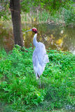 Australian crane Royalty Free Stock Photo