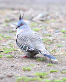 Australian crested pigeon,manly,sydney, australia Royalty Free Stock Photos