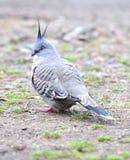 Australian crested pigeon,manly,sydney, australia royalty free stock photos