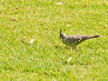 Australian crested pigeon Royalty Free Stock Photos