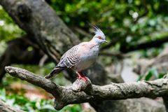Australian Crested Pigeon on tree limb. Royalty Free Stock Image