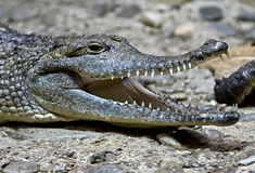 Australian crocodile 10 Royalty Free Stock Photo