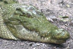Australian Crocodile Stock Images