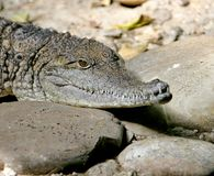 Australian crocodile 2 Royalty Free Stock Image