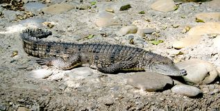 Australian crocodile 3 Royalty Free Stock Photo