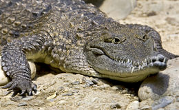 Australian crocodile 4 Royalty Free Stock Images
