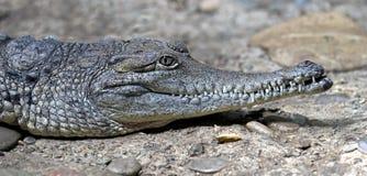 Australian crocodile 14 Stock Image