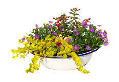 Australian Daisy and other garden plants in a old wasching bowl. Royalty Free Stock Photo