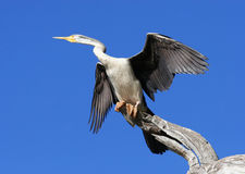 Australian Darter Bird Stock Image