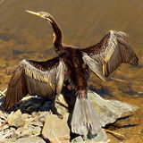 Australian Darter bird Stock Photos