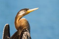 Australian Darter Bird in the sun Stock Photo