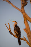 Australian Darter at dawn Royalty Free Stock Photography