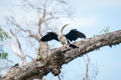 The Australian Darter spreads its wings at Corroboree Billabong, NT, Australia Royalty Free Stock Photography