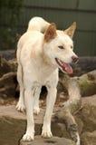 Australian dingo stock photos