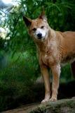 Australian Dingo. A shot of an Australian Dingo in the wild stock image
