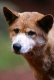 Australian Dingo Royalty Free Stock Photo