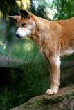 Australian Dingo Stock Photography