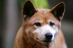 Australian Dingo Royalty Free Stock Photography