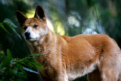 Australian Dingo Stock Images