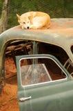 Australian Dingo royalty free stock image