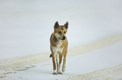 Australian Dingo on beach Royalty Free Stock Photos
