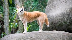 Australian dingo (canis lupus dingo). An Australian dingo standing on a rock boulder. The dingo is a wild dog found in Australia. Its exact ancestry is debated stock photos