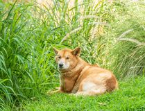 Australian Dingo or Canis dingo royalty free stock photography