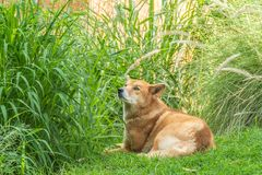 Australian Dingo or Canis dingo, sitting on lush green grass. In secluded spot and looking to left royalty free stock photos