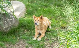 Australian Dingo or Canis dingo, with tongue out. Australian Dingo or Canis dingo, sitting on lush green grass in secluded spot with tongue sticking out stock images