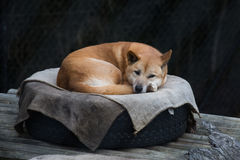 Australian Dingo. A depressed but pretty dingo in a tyer Stock Images
