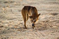 Australian Dingo. An Australian Dingo digging in sand on Fraser Island (latin Canis lupus dingo Stock Photos