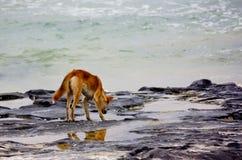 Australian Dingo at seaside rockpool. An Australian Dingo at rockpools by the seaside on Fraser Island, Queensland, Australia Stock Photography