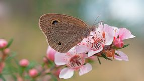 Australian Dingy Ring butterfly Royalty Free Stock Photography
