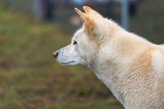 Australian dog, side profile view stock photography