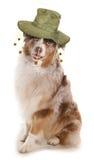 Australian dog Stock Image