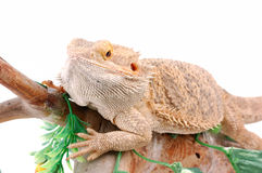 Australian dragon lizard Royalty Free Stock Photography