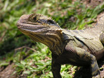 Australian Dragon lizard. A close up of a young Australian Dragon lizard Stock Photos