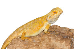 Australian dragon lizard Royalty Free Stock Photo