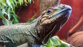 Australian Dragon or Lizard Royalty Free Stock Photo