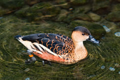 Australian duck. An exotic Australian duck swimming in a pond / lake Stock Photography