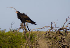 Australian eagle. This eagle was looking, next to the road, for a carcass to eat Stock Photography