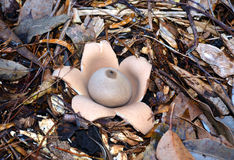 Australian earthstar fungus Stock Photography