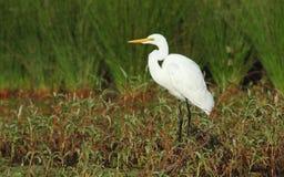 Australian Eastern Great Egret royalty free stock photos