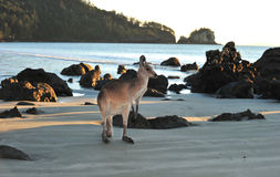 Australian eastern grey kangaroo beach,mackay Stock Images