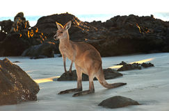 Australian eastern grey kangaroo beach,queensland Royalty Free Stock Images